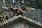 Adler aus Pfunds